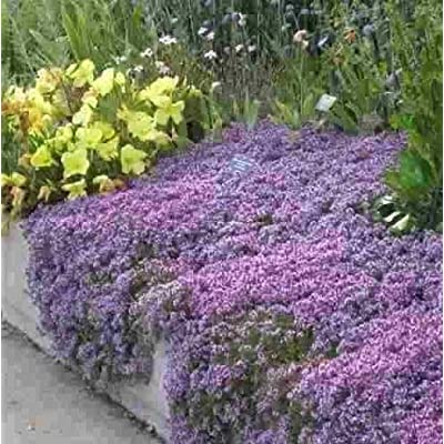 Creeping Thyme- Mother- 600 Seeds : Garden & Outdoor