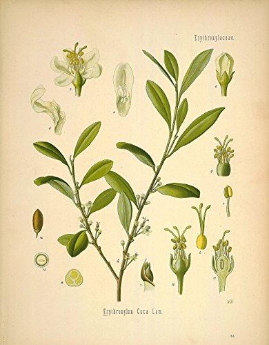 Psychoactive Plants Botanical Drawings Vintage Art Prints, Set of 5 ...