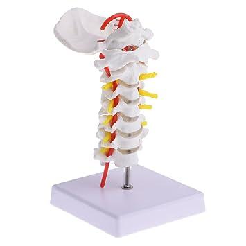 MagiDeal 1: 1 Lebensgroße Menschlichen Halswirbel Karotis Arterie ...