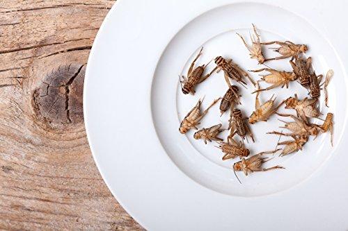 1000 Count Live Adult Feeder Crickets (Acheta domesticus) by UGRFeeders