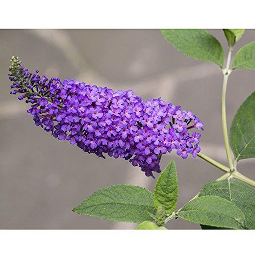 Rosepoem 50 colores mezclados Semillas de Buddleia Bush de mariposa Davidii H/íbrido de la mariposa