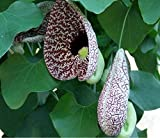 "Hardy Dutchman's Pipe Vine - Aristolochia - 2.5"" Pot"