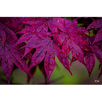 Amazoncom Bloodgood Japanese Maple Acer Palmatum Bloodgood