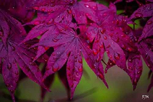 (BLOODGOOD JAPANESE MAPLE - Acer palmatum 'Bloodgood' - BEAUTIFUL MAROON RED LEAVES - 4 - Year PLANT )