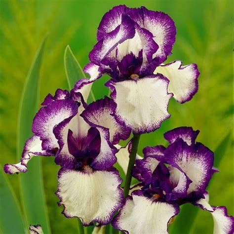 - White and Purple Iris Bulbs-4 Bulbs-Rare Iris Bulbs Reblooming Bearded Perennial Flowers Courtyard Garden Balcony Planting Decor