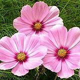 David's Garden Seeds Flower Cosmos Gloria SL3275 (Pink) 200 Non-GMO, Open Pollinated Seeds
