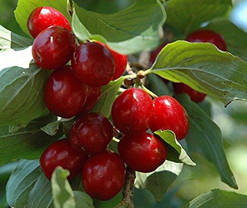 Cornelian cherry fruit shrub small tree edible berry LIVE PLANT dogwood