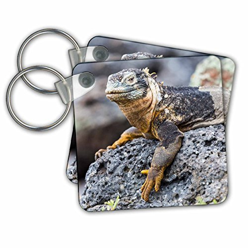 Danita Delimont - Reptiles - Ecuador, Galapagos Islands, Plaza Sur, Male land iguana basking. - Key Chains - set of 2 Key Chains - Plaza Kc