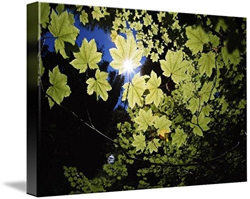Wall Art Print entitled Sunlight Through Maple Leaves by Design Pics | 24 x 16 - Sunburst Leafy Greens