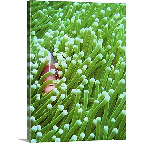 Pink Skunk Clown Fish - GREATBIGCANVAS Gallery-Wrapped Canvas Entitled A Pink Skunk Clownfish sneakily Peeps Through its Magnificent sea Anemone Home by 12