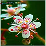 Time Limit!!!100pcs Rarest Extoic Saxifraga Flower Seeds Bonsai Plants Seeds For Home & Garden Flower Pots Planters