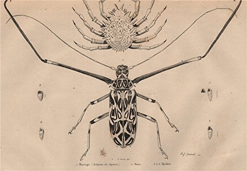 Print Maillot (Macrope (Arlequin Cayenne/Harlequin Beetle). Maia (Spider Crab). Maillots - 1834 - old print - antique print - vintage print - French Guiana art prints)