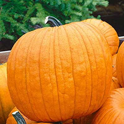 Pumpkin Garden Seeds - Howden Variety (treated) - Non-GMO, Heirloom Pumpkins - Rich Orange - Jack O'Lantern Pumpkin Gardening