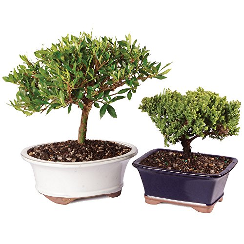 Brusselu0027s Gardenia Bonsai   Medium (Outdoor) And Green Mound Juniper Bonsai    Small (