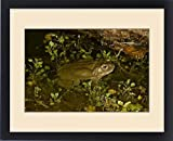 Framed Print of Colorado River Toad Bufo alvarius South Eastern Arizona