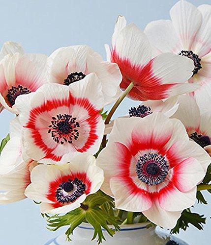 10 Bi-Color - TOP SIZE 7/8 - Single Monarch de Caen Anemone - Ranunculus Bulbs