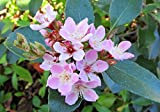 Dwarf Dark Pink Indian Hawthorne aka Rhaphiolepis indica 'Van's Pink' Live Plants - fit 5 Gallon Pot - FREE GIFT - From Bellacia Garden