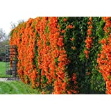 Siam Garden Flaming Trumpet Vine Live Plant with Free Pot