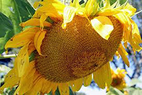 Sunflower 20 Seeds - Sunflower, Mammoth Russian, 20+ Seeds Organic Newly Harvested, 7-10 Foot Tall