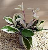 "Strawberries & Cream Wax Plant - Hoya - 6"" Hanging Basket"