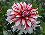 2 Dinner Plate #1 Size Dahlia Tuber/Root/Bulb 'Santa Claus' Shipping Mar. 2017