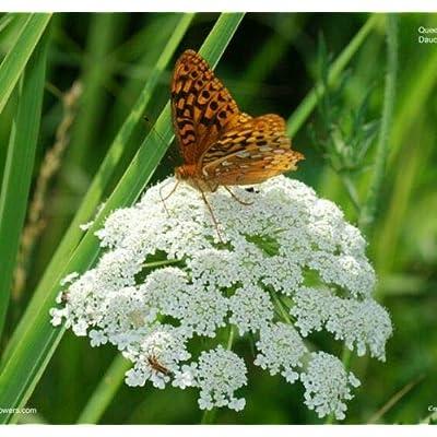 200+ Organic Queen Anne's Lace Seeds ~ Wild Carrot : Garden & Outdoor