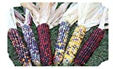 Decorative Indian Corn - 5 to 6 Ears with Husk - Each Ear 6 to 10 inches Long - Ornamental