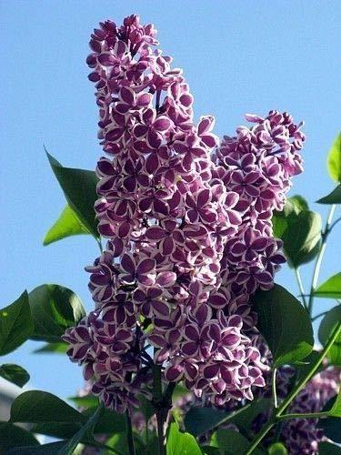 Sensation French Lilac - Syringa - Extremely Fragrant - 4