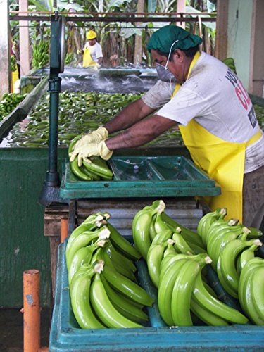 LAMINATED 24x32 inches Poster: Man Packaging Workers Pack Sort Organic Bananas Cavendish Ecuador Sorting Pack Station Mouth Guard Peron (Banana Sorts)