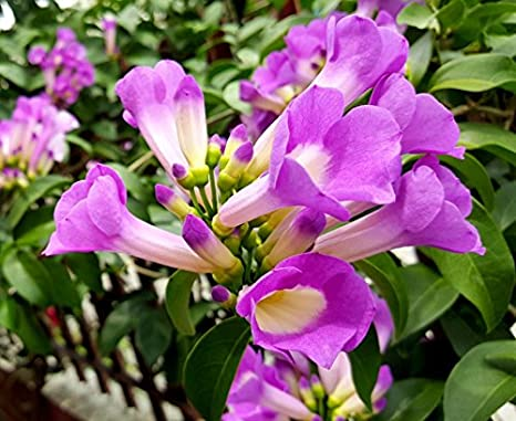 Sauparnika Garlic Creeper Vine Live Flowering Plant Amazon In
