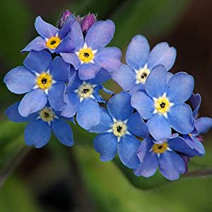 Plant World Seeds - Myosotis 'Indigo Blue' Seeds