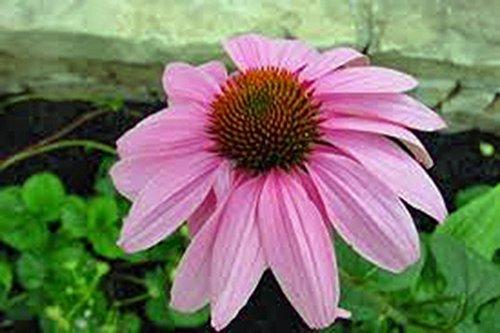 (Purple Coneflowers 100+ Seeds Organic, Beautiful Purple Blooms)
