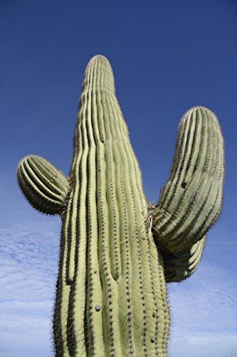 Saguaro Cactus (25 Giant Saguaro Cactus Seeds ~ 3.8mg Pack Carnegia Gigantea Southwest Cacti)