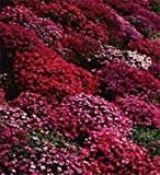 50 Aubrieta Rock Cress Red Flower Seeds Perennial