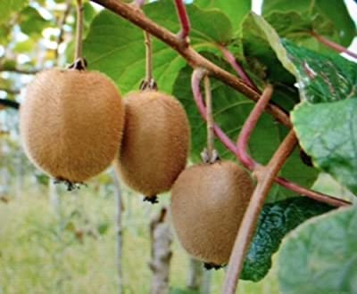 15 Dwarf Kiwi Seeds PATIO KIWI FRUIT