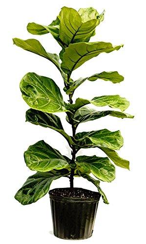 PlantVine Ficus lyrata, Fiddle Leaf Fig - XL (4-5ft), Bush - 12-14 Inch Pot (7 Gallon), Live Indoor Plant by PlantVine (Image #4)