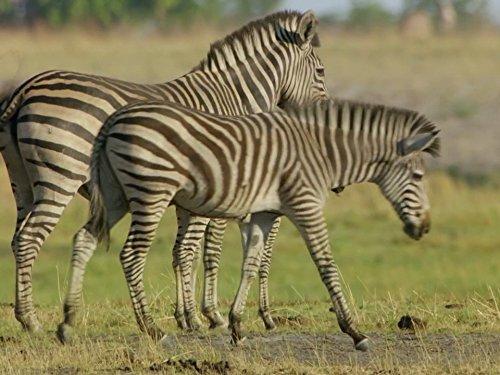 (Zebra)