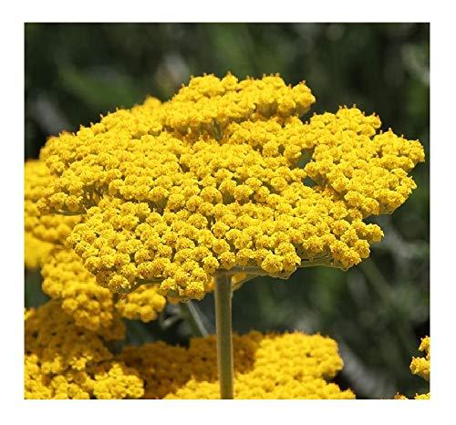 David's Garden Seeds Flower Achillea Yarrow Gold SL4276 (Yellow) 500 Non-GMO, Heirloom Seeds (Yarrow Seeds)