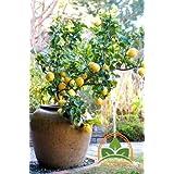 Very Rare, Eureka Lemon Citrus Tree 10 seeds by Prorganics