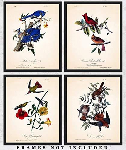 (Vintage American Birds Wall Art Print: Unique Room Decor for Boys, Girls, Men & Women - Set of Four (8x10) Unframed Pictures - Great Gift Idea )