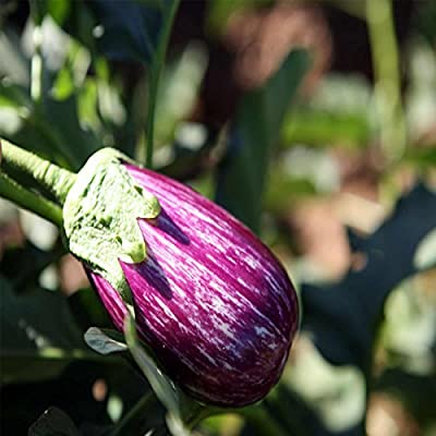 Fairy Tale Hybrid Eggplant Garden Seeds - Non-GMO Vegetable Gardening Seed - Solanum melongena