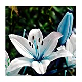 50 pcs/lot Hot Lily Flower Seeds Lilium Brownii Bonsai Potted Garden Plant Unique Perfume Blue Heart lily Seeds