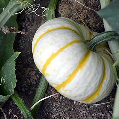 Pumpkin Garden Seeds - Lil' Pump-ke-mon Variety - Non-GMO, Heirloom Pumpkins - Miniature White - Orange Stripes