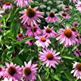 Outsidepride Echinacea Purple Coneflower - 1000 Seeds