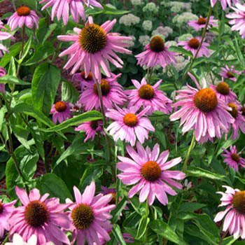 HEIRLOOM NON GMO Echinacea (Purple Coneflower) 250 seed