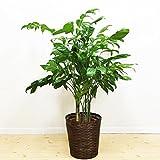 高性チャメドレア 観葉植物 鉢カバー付 ヤシの木 日陰や寒さに強い やしの木 インテリア