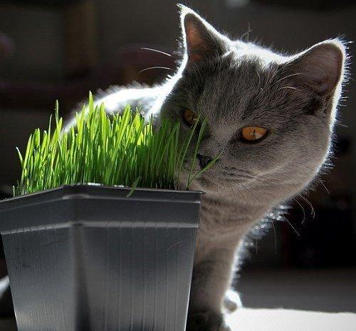 Catgrass (Sweet Oats for Cats) 900 Seeds (Cat 900 Seeds)