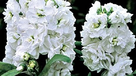 Amazon 50 evening scented stock cinderella white flower seeds 50 evening scented stock cinderella white flower seeds highly fragrant long lasting annual mightylinksfo