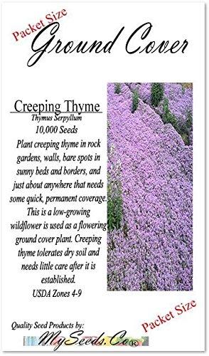 1oz (220,000+ Seed) x CREEPING THYME Herb Seeds Thymus Serpyllum ~ Butterflies love it so will U - By MySeeds.Co by MySeeds.Co - BIG PACK Seeds (Image #2)