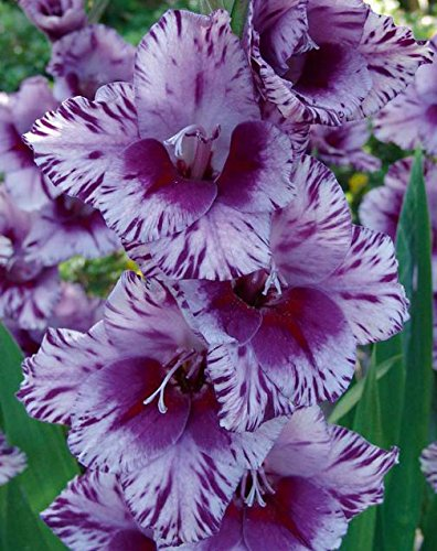 (10) Extra Large Bulbs Spectacular Large Flowering Bullbs Gladiolus Purple, Lavender & White Passos Gladioli,Sword Lily Plant, Start, Root